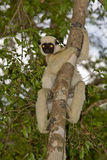 Decken's Sifaka. Wild Decken's Sifaka in Madagascar Royalty Free Stock Images