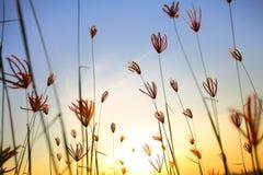 Decken Sie Blume Sekinchan mit Stroh Lizenzfreie Stockfotografie