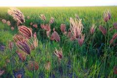Decken Sie Blume Sekinchan mit Stroh Stockfotografie