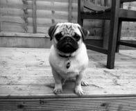 Decking di monocromio del cucciolo del carlino fotografia stock libera da diritti