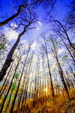 Declduous Dipterocarp Forest with sunset Royalty Free Stock Photos