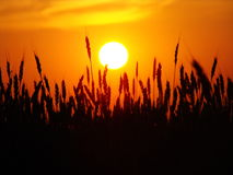 Decline over wheat. The red sun sits down over a field with wheat Royalty Free Stock Image