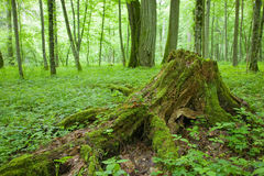 Almost declined tree stump Royalty Free Stock Photo