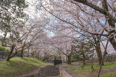 Declive com flores de cerejeira de sakura, Kyoto de Keage, Japão Imagens de Stock Royalty Free