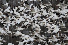 Decolagem caótica dos gansos de neve imagens de stock royalty free