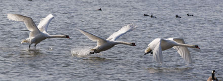 Decolagem da cisne muda Imagens de Stock