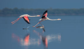 Decolagem do flamingo Foto de Stock Royalty Free