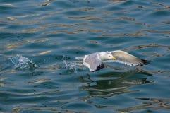 Decolagem do pássaro da gaivota Imagem de Stock
