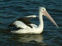 Decolagem do pelicano Imagens de Stock Royalty Free