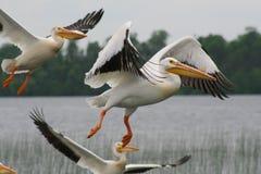 Decolagem dos pelicanos Fotografia de Stock Royalty Free