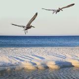 Decollo dei pellicani di Brown dalla spiaggia di sabbia bianca come aumenti di Sun Immagine Stock Libera da Diritti
