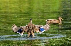 Decollo dell'anatra Mallard - un uccello dalla famiglia della separazione delle anatre degli uccelli acquatici L'anatra selvatica fotografia stock