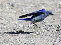 Decollo dell'uccellino azzurro della montagna Fotografie Stock