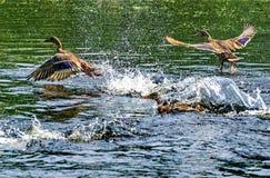 Decollo delle anatre Mallard - un uccello dalla famiglia della separazione delle anatre degli uccelli acquatici L'anatra selvatic immagini stock