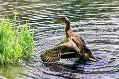 Decollo delle anatre Mallard - un uccello dalla famiglia della separazione delle anatre degli uccelli acquatici L'anatra selvatic fotografia stock libera da diritti