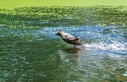 Decollo delle anatre Mallard - un uccello dalla famiglia della separazione delle anatre degli uccelli acquatici L'anatra selvatic fotografie stock libere da diritti
