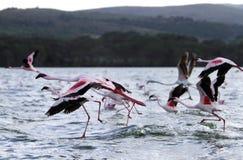 Decollo di bei fenicotteri nel lago Naivasha Fotografia Stock