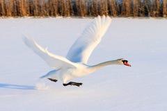 Decollo di inverno del cigno fotografie stock