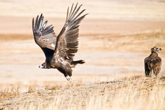 Decollo nero dell'avvoltoio Fotografie Stock Libere da Diritti