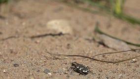 Decollo rapido del hybrida nordico di Cicindela dello scarabeo di tigre della duna, movimento lento video d archivio
