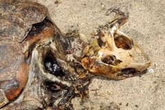 Decomposed carcass of a sea Turtle Royalty Free Stock Photography