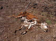 Decomposing Cow Royalty Free Stock Photography