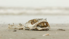 Decomposing dead fish carcass. Washed ashore on beach with mostly fish bones left Stock Photography