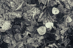Decomposing Fall Leaves - Black and White Stock Image