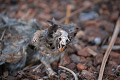 DECOMPOSING RAT SHOWING SKULL AND INCISORS. Carcass of decomposing rat on the ground in a garden Stock Images
