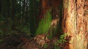 Decomposing Stump, Pacific Northwest Rainforest stock video