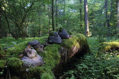 Decomposing trees in Bialowieza National Park Stock Photo