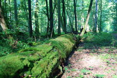 Decomposing trees in Bialowieza National Park, strict reserve Royalty Free Stock Photography