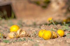 Decomposizione, Falllen, frutta che mette sul pavimento del frutteto Immagine Stock