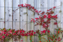 Decor with ivy and red berry. The decor is at the fence surrounding a house Royalty Free Stock Photo