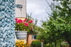 Decor outside the house, pink geraniums in a hanging flowerpot on the wall of the house royalty free stock photography