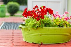 The decor outside the house, pink and red geraniums in a metal green basin-vase royalty free stock image