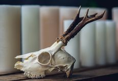 Skull of an animal with horns. Decor skull of an animal with horns for photoshoots and magic stock images