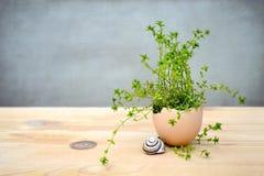 Decoração da Páscoa: Plante o crescimento no shell de ovo, fundo do grunge Fotografia de Stock