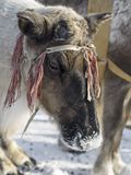 Decoração da rena Fotografia de Stock