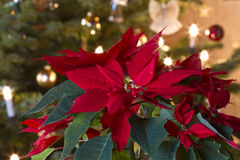 Decoração de Rosa de inverno Fotos de Stock Royalty Free