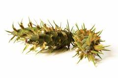 Decoração do Natal - cones verdes novos do iso da árvore de abeto de Douglas Imagens de Stock