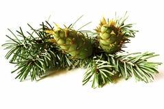 Decoração do Natal - grupo da árvore de abeto de Douglas com isolador dos cones Fotos de Stock Royalty Free