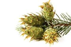 Decoração do Natal - grupo da árvore de abeto de Douglas com isolador dos cones Imagem de Stock Royalty Free