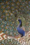 Decoração do pavão no palácio da cidade, Jaipur Fotos de Stock Royalty Free