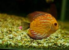 Decoração dos peixes de cichlidae Fotografia de Stock