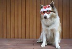 Decoração engraçada do Natal na cabeça de cão mixbreed fotos de stock royalty free