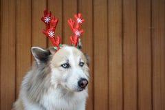 Decoração engraçada do Natal na cabeça de cão mixbreed imagem de stock