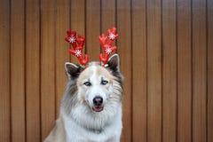 Decoração engraçada do Natal na cabeça de cão mixbreed imagem de stock royalty free