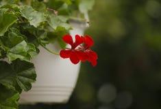Decoração floral agradável (Pelargonium) Fotos de Stock
