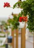 Decoração floral agradável (Pelargonium) Foto de Stock
